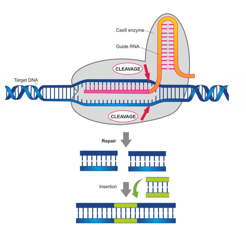 Diagram showing CRISPR-CA9 in action