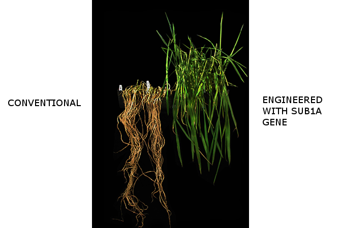 Rice with submergence tolerance gene versus standard